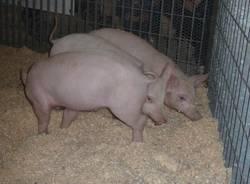 Agrivarese: gli animali (inserita in galleria)
