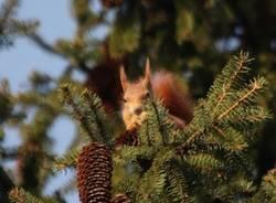 Scoiattolo grigio, scoiattolo rosso (inserita in galleria)
