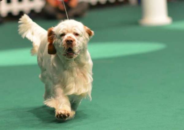 Cani da sfilata a MalpensaFiere (inserita in galleria)
