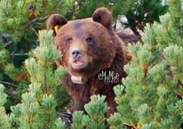 L'orso dei Grigioni (inserita in galleria)
