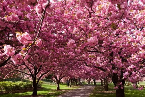 Il giardino dei ciliegi varesenews foto