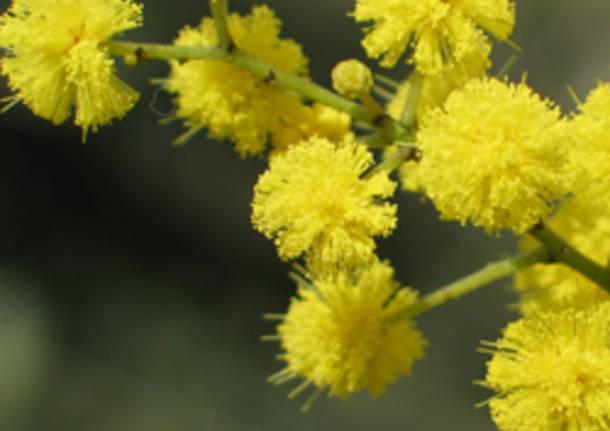 mimosa apertura