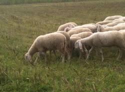 Pecore a Ispra (inserita in galleria)