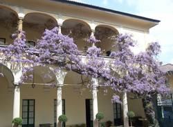 I fiori del glicine più grande d'Europa (inserita in galleria)