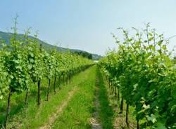 Nelle vigne della Franciacorta (inserita in galleria)