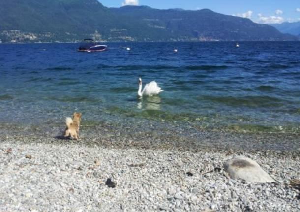 In diretta dalla spiaggia di PortoValtravaglia una discussione tra cane e cigno!  (inviato da Android app)
