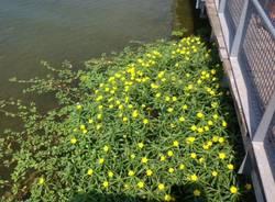 La Ludwigia sul lago (inserita in galleria)