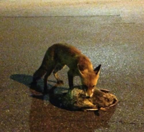 lo spuntino notturno della volpe della motta  (inviata tramite iPhone app)