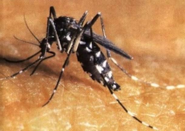 zanzara tigre foto