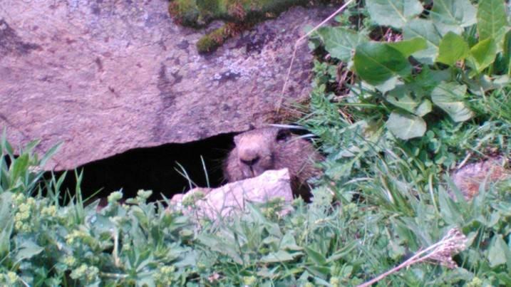 marmotta curiosa