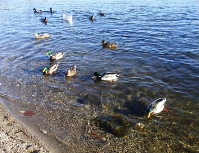 Ochette sul Lago di Varese