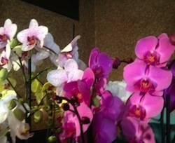orchidee apertura varese orchidea