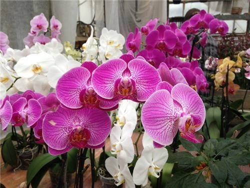 Le Orchidee di Morosolo (inserita in galleria)