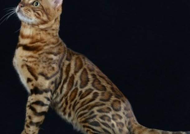 milano cat show malpensafiere