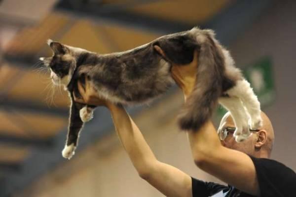 Mostra felina a Malpensafiere (inserita in galleria)