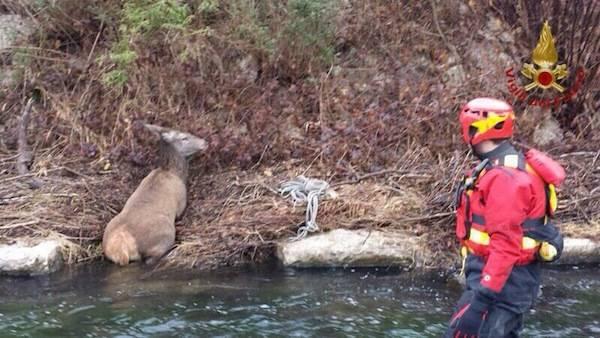 Il salvataggio del cervo a Laveno (inserita in galleria)