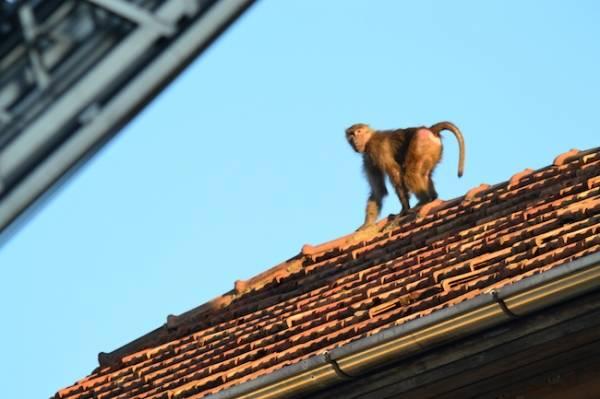 La scimmia fugge: la fotosequenza (inserita in galleria)
