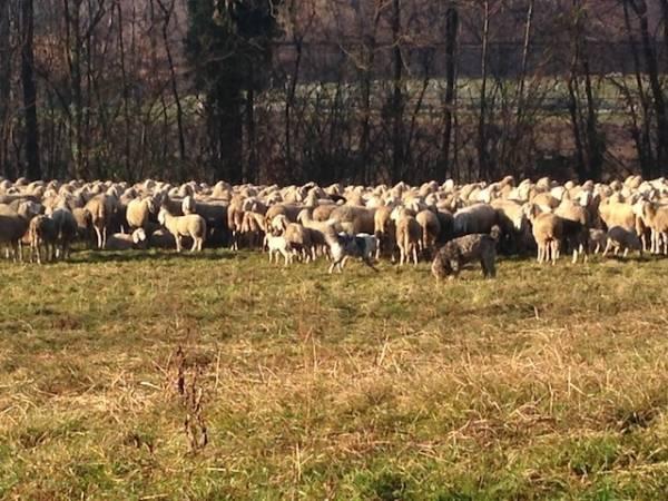 Pecore al pascolo a Cadrezzate (inserita in galleria)