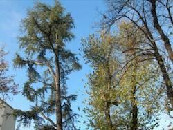 alberi piazza risorgimento apertura