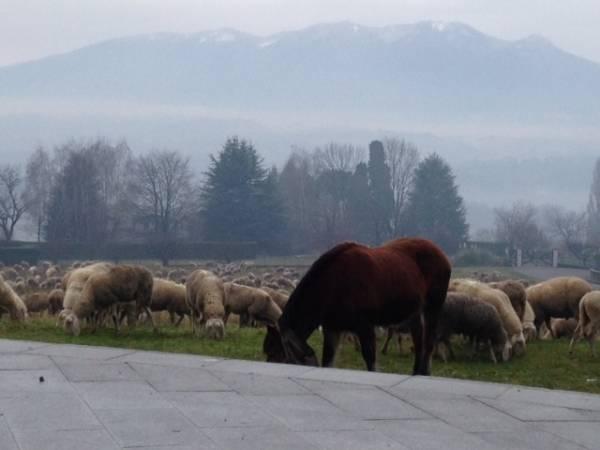 La poesia delle pecore al pascolo (inserita in galleria)