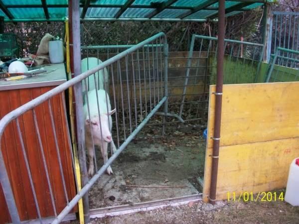 Animali tra degrado e sporcizia, nuovo sequestro a Bisuschio (inserita in galleria)