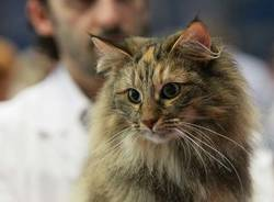 Felina Maxima: gatti rari e bellissimi (inserita in galleria)