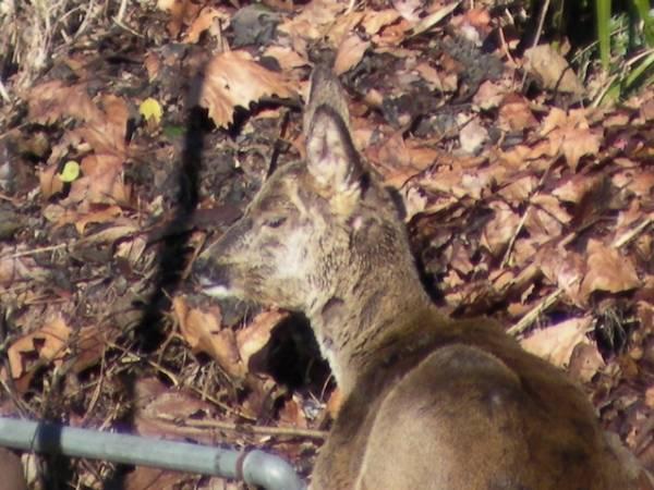 Il cerbiatto sotto casa (inserita in galleria)