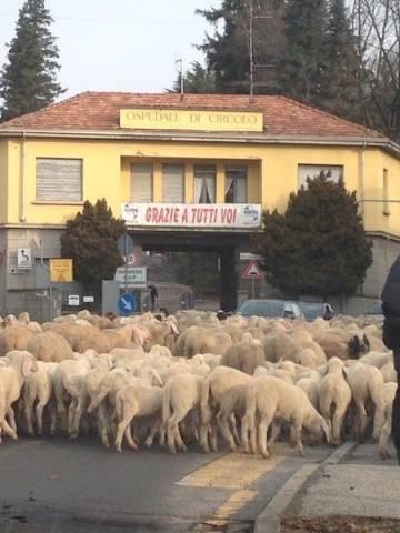 Le pecore per le strade di Tradate  (inserita in galleria)