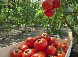 orti orto urbano pomodori