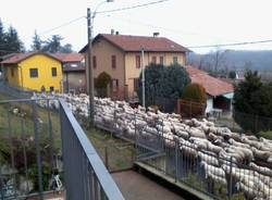 Pecore a Lozza (inserita in galleria)