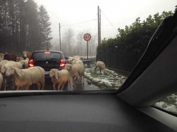 """Pecore """"invadono"""" la strada a Clivio (inserita in galleria)"""