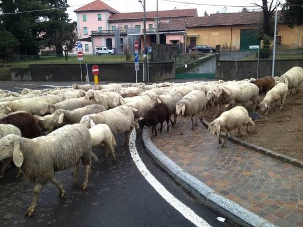 Pecore sulla rotonda a Vedano Olona (inserita in galleria)