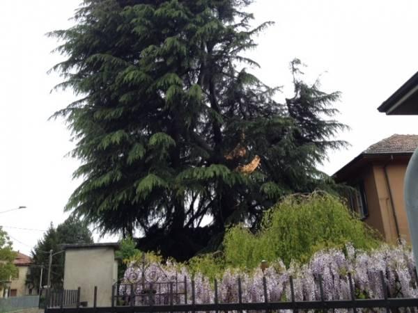 Fulmine abbatte pino centenario (inserita in galleria)