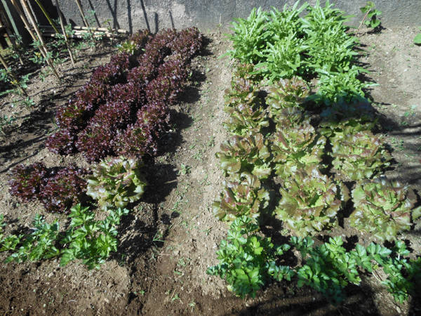 Nonni e nipoti fanno l'orto alle scuole Landriani (inserita in galleria)
