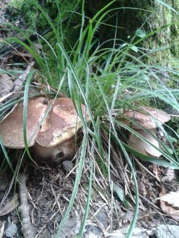 Funghi nel luinese (inserita in galleria)