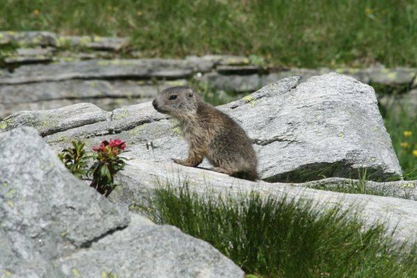 Cucciolo di Marmotta