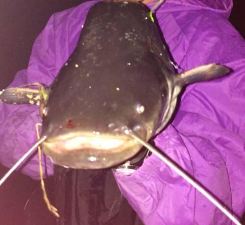 grande siluro  18kg pescato lago maggiore da willery (inviata tramite iPhone app)