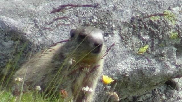 Marmotta all'Alpe Devero