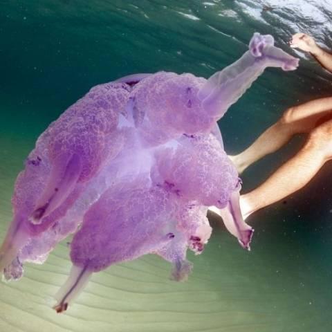Meduse giganti in Sardegna (inserita in galleria)