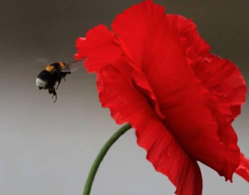 Tulipano rosso (inviata tramite iPhone app)