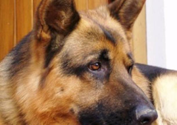 cane pastore tedesco apertura