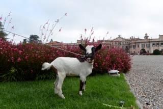 La capretta-giardiniere ai Giardini Estensi (inserita in galleria)