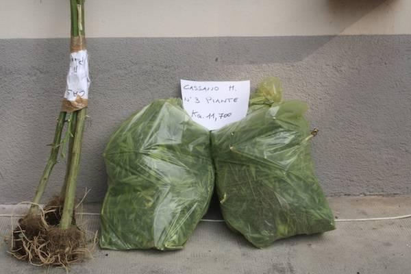 Marijuana nel granturco scoperta dalla Guardia di Finanza (inserita in galleria)