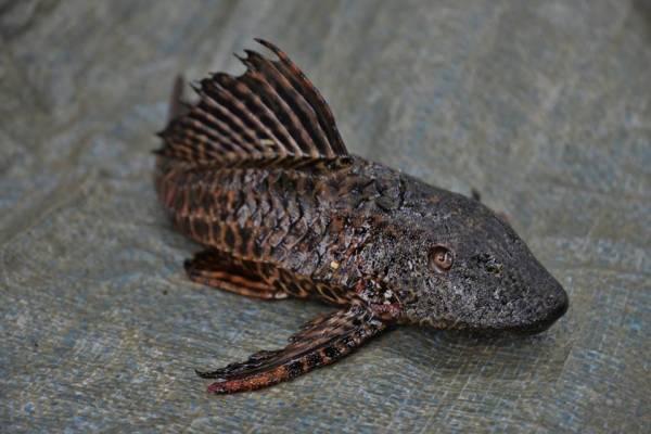 Il pesce pulitore gigante (inserita in galleria)