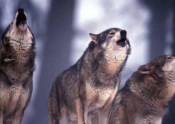 lupo apertura lunga