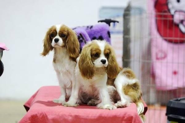 Cani in mostra a Malpensafiere (inserita in galleria)