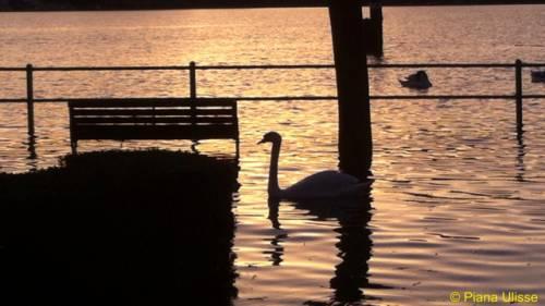 Cigno sul lago dorato Angera