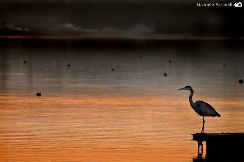 L'airone contempla il lago al tramonto