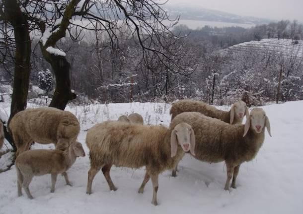 Pecore e neve