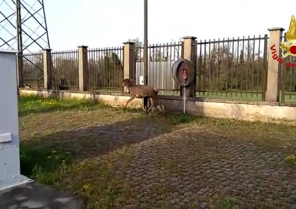 lonate pozzolo cervo intrappolato
